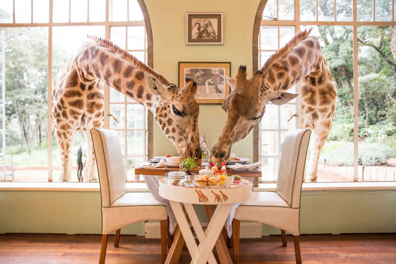 giraffe-manor-breakfast-with-giraffe