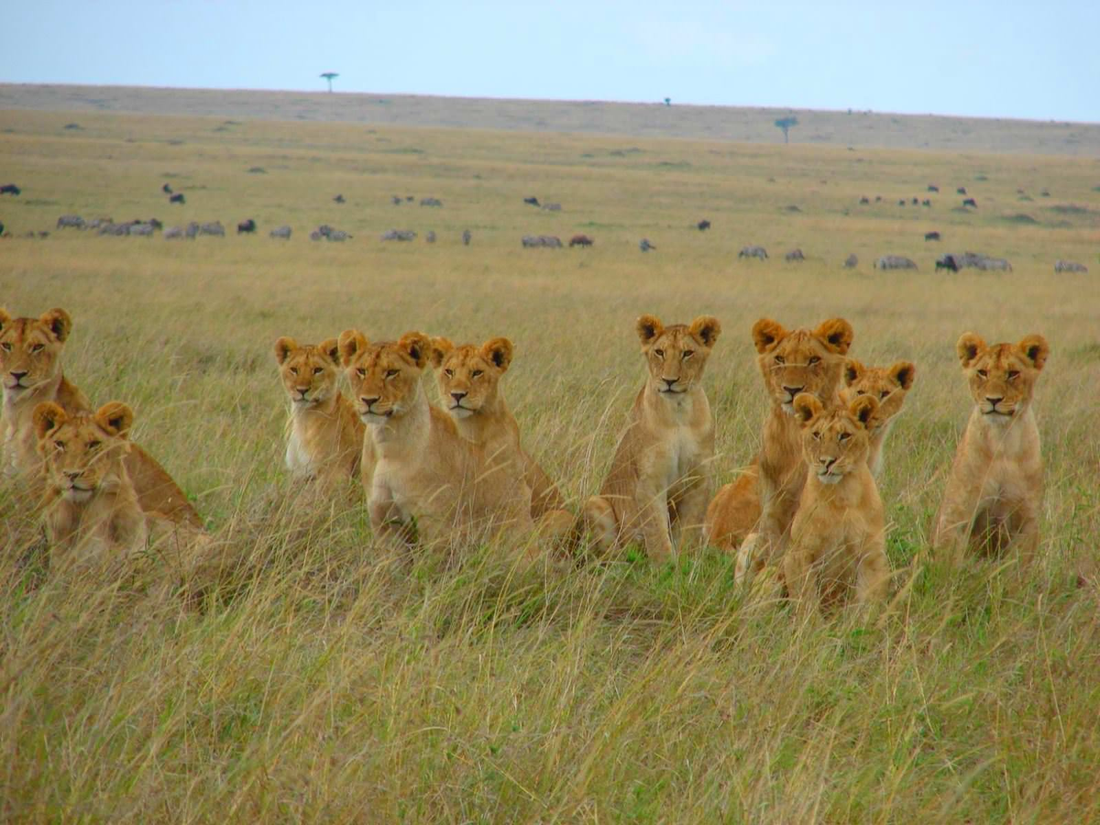 lots-of-lions