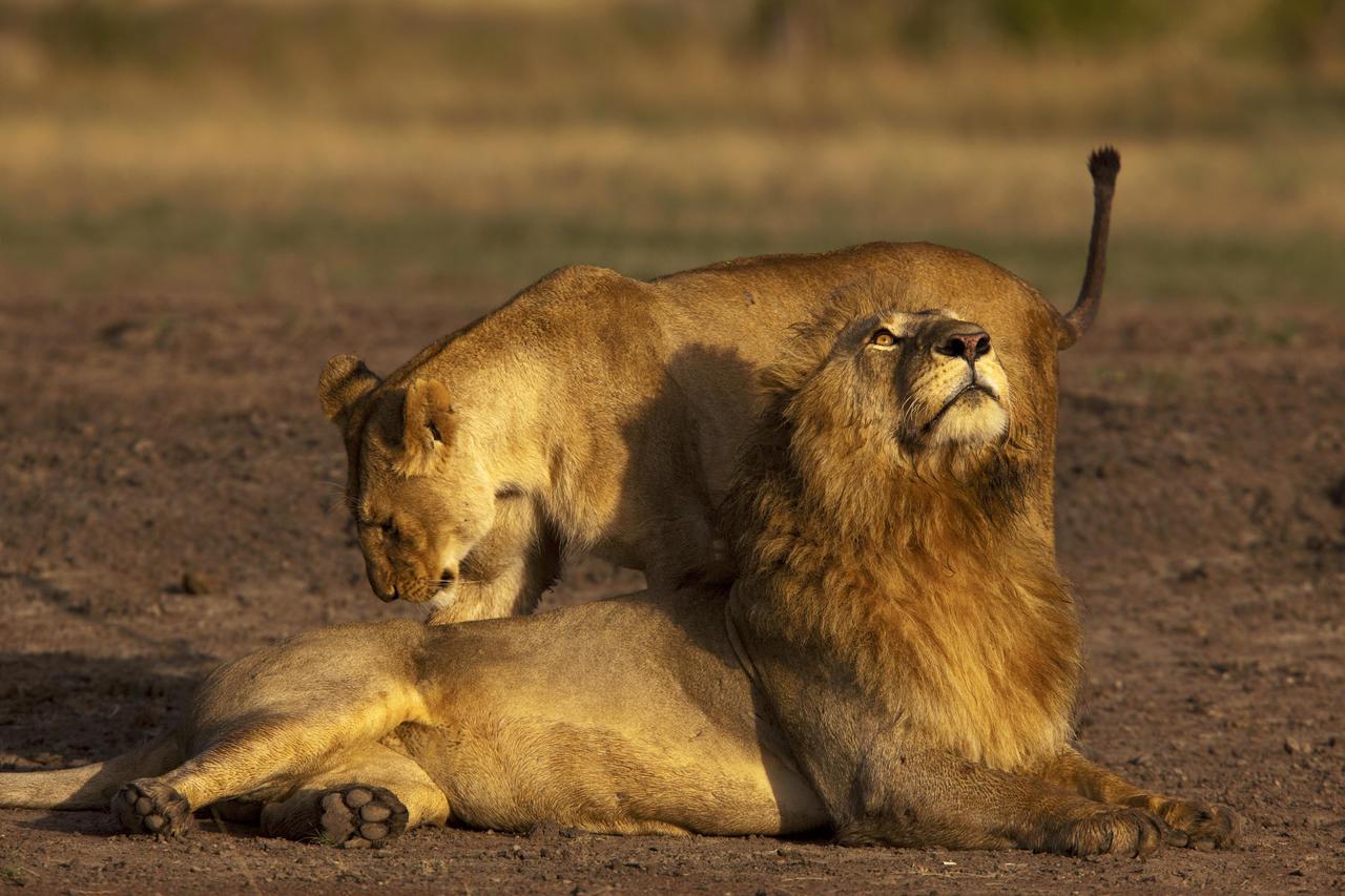 mara_expedition_camp_lions