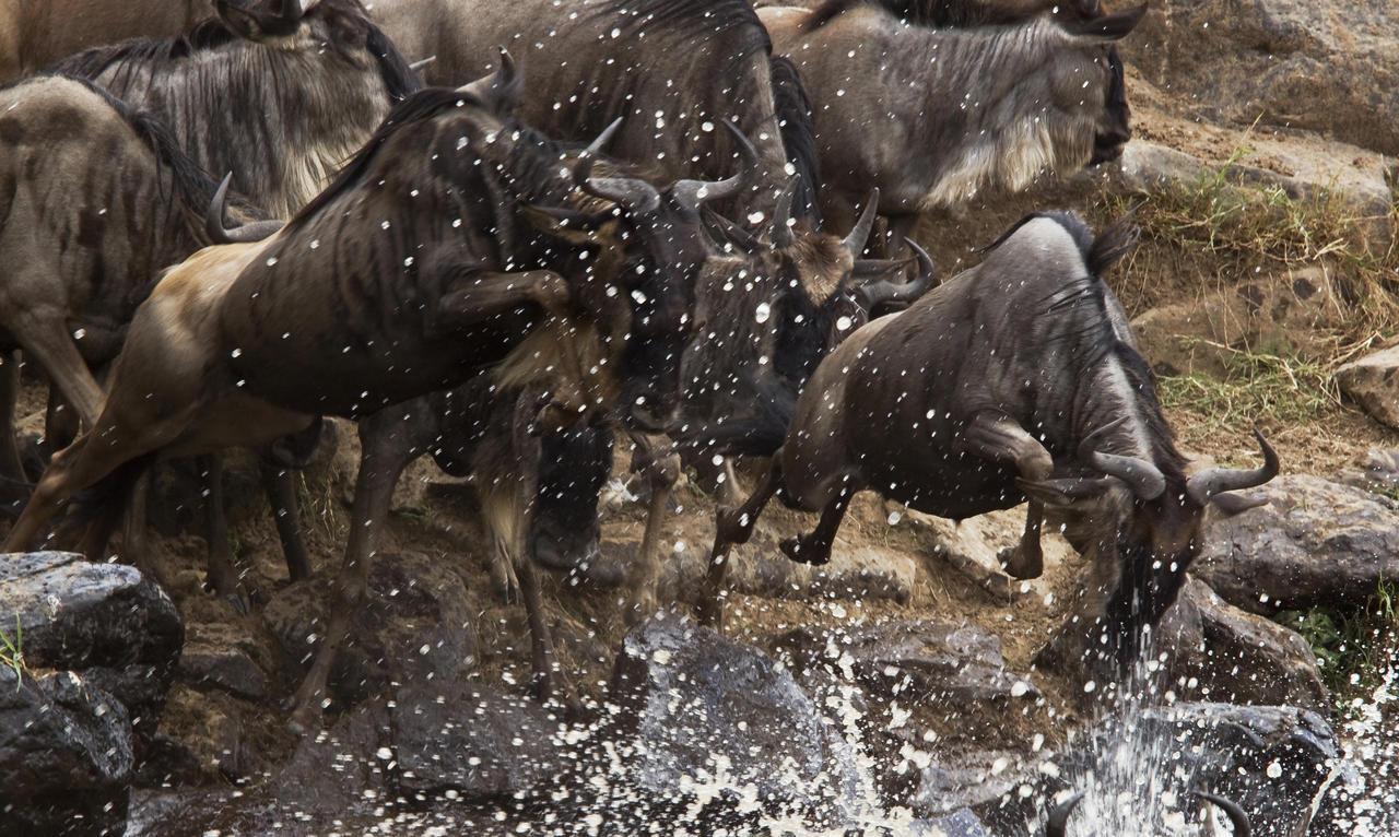 mara_expedition_wildebeest_crossing