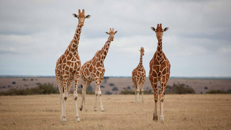 solio-lodge-giraffes